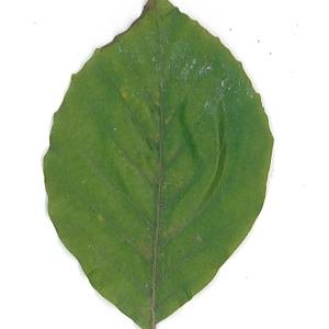Photographie n°62090 du taxon Fagus sylvatica L.