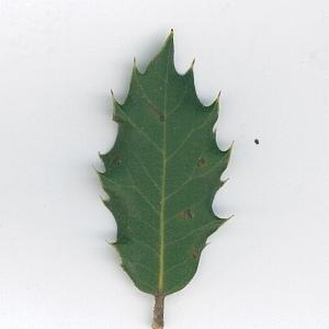 Photographie n°62091 du taxon Quercus ilex L. [1753]