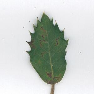 Photographie n°62092 du taxon Quercus ilex L. [1753]