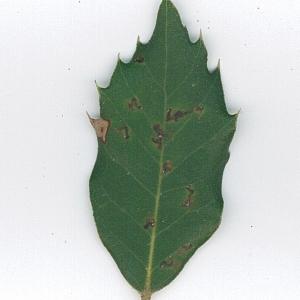 Photographie n°62093 du taxon Quercus ilex L. [1753]