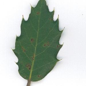 Photographie n°62095 du taxon Quercus ilex L. [1753]