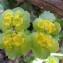 Hugues TINGUY - Chrysosplenium alternifolium L.