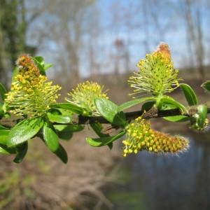 Photographie n°62307 du taxon Salix myrsinifolia Salisb. [1796]