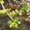 Hugues Tinguy - Salix myrsinifolia Salisb. [1796]