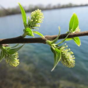 - Salix myrsinifolia Salisb. [1796]