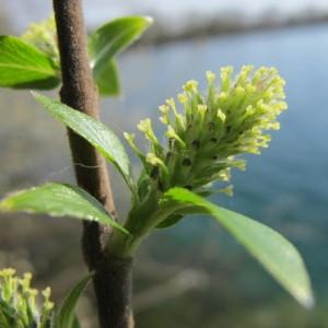 Salix cotinifolia Sm. (Saule noircissant)