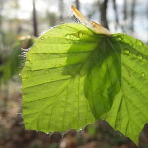 Photographie n°62314 du taxon Fagus sylvatica L.