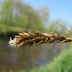 Photographie n°62335 du taxon Carex disticha Huds.