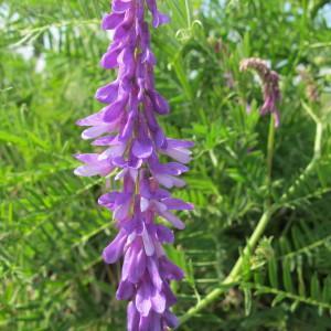 Photographie n°62348 du taxon Vicia cracca L. [1753]