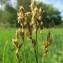 Hugues TINGUY - Carex brizoides L.