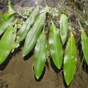 Potamogeton nodosus Poir. (Potamot noueux)