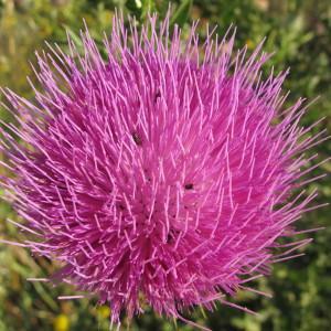 Onopordum tauricum Willd. (Onopordon)