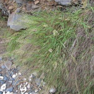 Photographie n°62403 du taxon Agrostis stolonifera L. [1753]