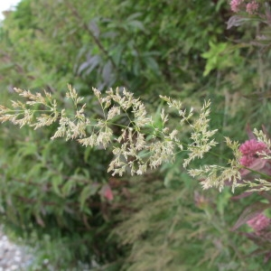 Agrostis stolonifera L. (Agrostide blanche)