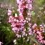 Chloé FILLINGER - Erica multiflora L.