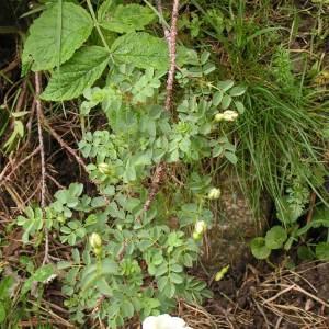 Photographie n°62512 du taxon Rosa pimpinellifolia L. [1759]