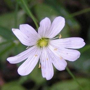 Photographie n°62518 du taxon Cerastium cerastoides (L.) Britton [1894]