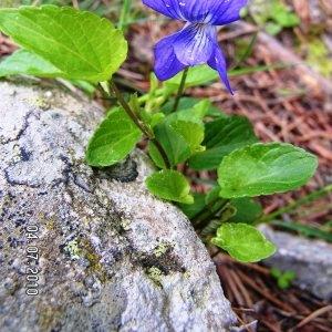 Photographie n°62528 du taxon Viola canina L. [1753]