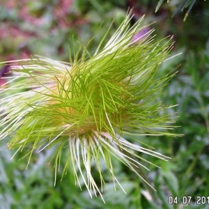 Photographie n°62533 du taxon Anemone alpina L.