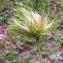 Alain Bigou - Anemone alpina L.