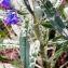 Alain Bigou - Echium vulgare L.
