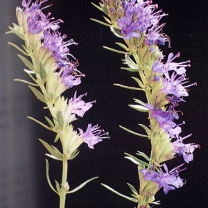 Photographie n°62592 du taxon Hyssopus officinalis L. [1753]