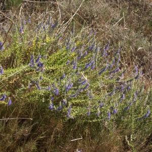 Photographie n°62593 du taxon Hyssopus officinalis L. [1753]