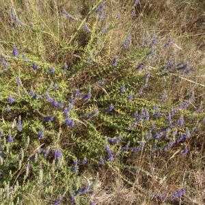 Photographie n°62594 du taxon Hyssopus officinalis L. [1753]