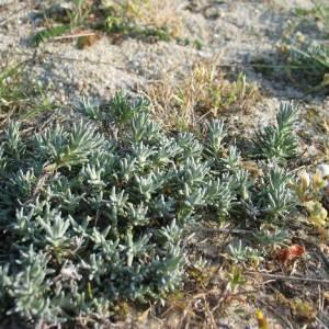 - Artemisia maritima L.