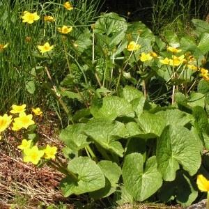 Photographie n°62670 du taxon Caltha palustris subsp. palustris