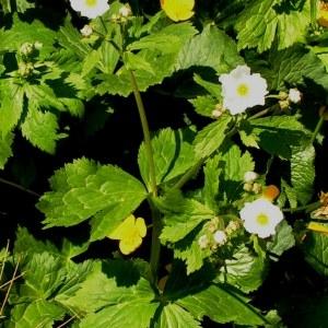 Photographie n°62671 du taxon Ranunculus aconitifolius L. [1753]