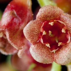 Ribes petraeum Wulfen (Groseillier des pierriers)