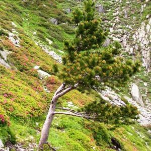 Photographie n°62869 du taxon Pinus mugo subsp. uncinata (Ramond ex DC.) Domin
