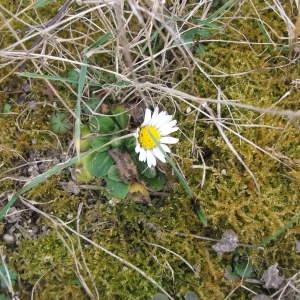 Photographie n°62882 du taxon Bellis perennis L.