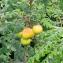 Annick Larbouillat - Sorbus domestica L. [1753]