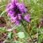 Alain Bigou - Betonica officinalis subsp. officinalis