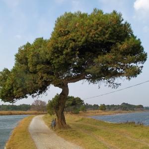 Photographie n°62992 du taxon Pinus halepensis Mill. [1768]