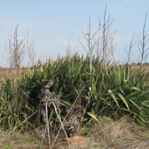 Photographie n°62994 du taxon Yucca gloriosa L.