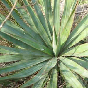 Photographie n°62995 du taxon Yucca gloriosa L.