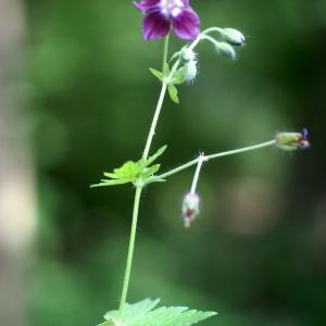 Photographie n°63030 du taxon Geranium phaeum L. [1753]