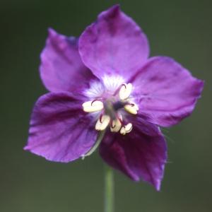 Photographie n°63031 du taxon Geranium phaeum L. [1753]
