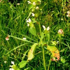 Photographie n°63050 du taxon Galeopsis tetrahit L.