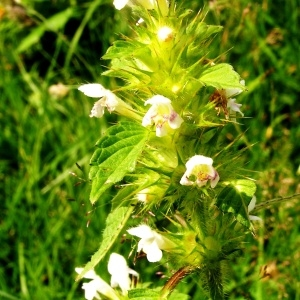 Photographie n°63051 du taxon Galeopsis tetrahit L.