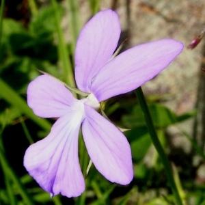 Photographie n°63053 du taxon Viola cornuta L. [1763]