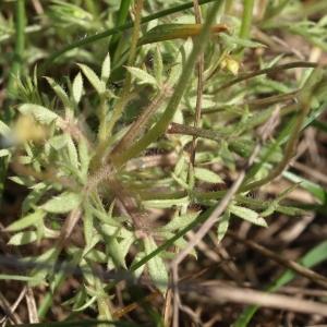 Photographie n°63066 du taxon Saxifraga hypnoides L.