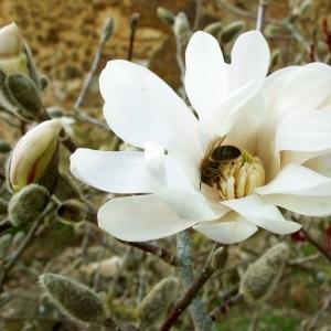 Magnolia stellata (Siebold & Zucc.) Maxim. [1872] (Magnolia étoilé)