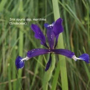 Photographie n°63154 du taxon Iris spuria subsp. maritima (Lam.) P.Fourn. [1935]