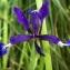 Liliane Roubaudi - Iris spuria subsp. maritima (Lam.) P.Fourn. [1935]