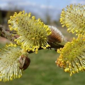 Photographie n°63163 du taxon Salix cinerea L. [1753]
