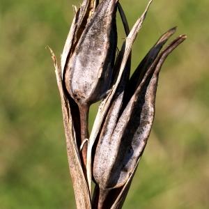 - Iris spuria subsp. maritima (Lam.) P.Fourn. [1935]